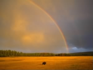 Rainbow and a Bison